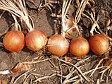 Семена лука ИСПАНЬОЛ, 0, 5 кг, фото 2