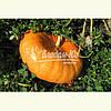 Семена тыквы РУЖ ВИФ ДЕ ТАМП, 0, 5 кг.
