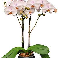 """Подростки орхидеи. Сорт Сhantal, размер 1.7"""" без цветов."""