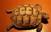 Черепаха греческая (Testudo graeca)