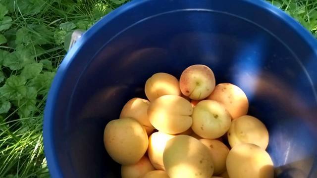 Саженцы абрикоса сортЦюрупинский