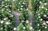 "Сетка для цветов (шпалерная) 1.2 х 20м. Ячейка 10 х 10 см. ""Intermas"". Венгрия, фото 6"
