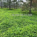 Белый клевер 1кг упаковка Пиполина Ривендел Юра Рома trifolium и др.сорта семена лилипут оптом для газона цена, фото 4