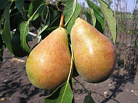 Саженцы груш Бере Лигеля (подвой айва)