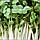РОСТКИ БРОККОЛИ ПРОРОСТКИ  микрогрин микрозелень органические Sadove 50 г, фото 7