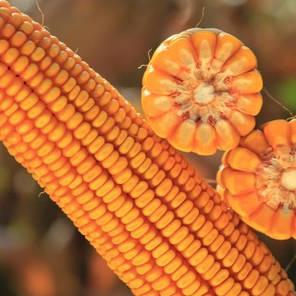 Гибрид кукурузы KWS Каньйонс укр Пончо (ФАО 230), фото 2