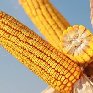 Гибрид кукурузы KWS КВС Кавалер Форс Зеа (ФАО 250), фото 2