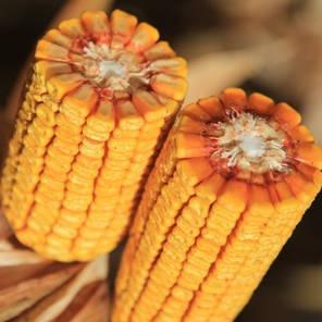 Гибрид кукурузы KWS КВС 2370 укр Пончо (ФАО 280), фото 2