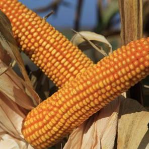 Гибрид кукурузы KWS Богатырь укр (ФАО 290), фото 2