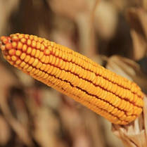 Гибрид кукурузы KWS Керберос укр (ФАО 310), фото 3