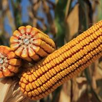 Гибрид кукурузы KWS Керберос укр (ФАО 310), фото 2