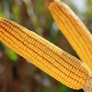 Гибрид кукурузы KWS KBC 4484 (ФАО 370), фото 2