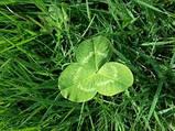 Клевер белый 300г семена 100% можно добавлять в газон использовать как цветущий карликовый, фото 4