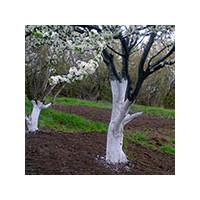Побелка деревьев ранней весной, фото Sevenmart