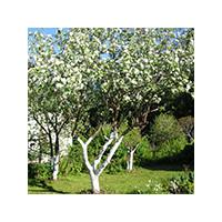 Побелка фруктовых деревьев весной, фото Sevenmart