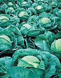 Семена капусты Атрия-Atria F1 - 2500 семян, фото 2