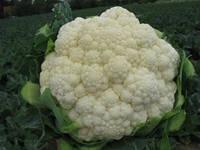 Семена цветной Кердос- Kerdous F1 - 1000 семян