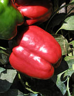 Семена перца Красный Рыцарь (X3R) F1 - Red Knight X3R F1 - 500 семян, фото 1