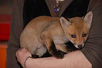 Домашня лисичка у вас вдома