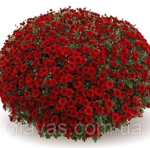 Хризантема Камина Ред (Camina Red)