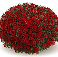 Хризантема Камина Ред (Camina Red), фото 1
