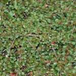 Кизильник (Cotoneaster)