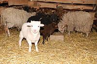 Валлійські вівці в рік вівці – на щастя