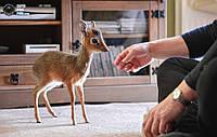 Домашня карликова антилопа дікдік