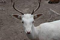 Європейські білі лані(олені-квітки)