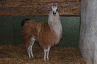 Домашня лама Альпака