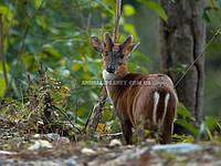 Домашній олень індійський мунтжак (Muntiacus muntjak)