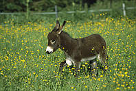 Домашній  Віслюк (Equus asinus asinus)