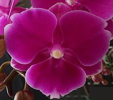 """Подростки орхидеи. Сорт L1290 мини биглип, размер 1.7"""" без цветов."""
