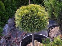 Сосна горная Varella на штамбе GreenLife ком в мешковине