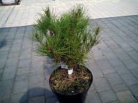 Сосна густоцветная Alice Vercade GreenLife  d=30-40см.
