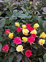 Роза желатая Frisco