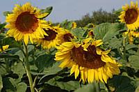 Семена подсолнечника лимагрейн лг 50505 (классический)
