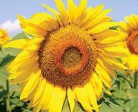 Семена подсолнечника лимагрейн лг 5543 КЛ (евролайтинг)