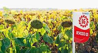 Семена подсолнечника лимагрейн лг 5452 ХО КЛ (евролайтинг)