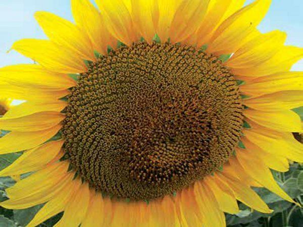 Семена подсолнечника Лимагрейн ЛГ 5671 КЛП (евролайтинг)