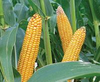 Семена кукурузы Лимагрейн ЛГ 2195 (LG 21.95) фао – 190