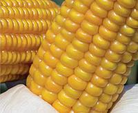 Семена кукурузы Лимагрейн Аалвито (AALVITO) ФАО – 210