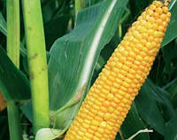 Семена кукурузы Лимагрейн ЛГ 3255 (LG 32.55) ФАО – 250