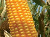 Семена кукурузы Лимагрейн ЛГ 30288 (LG 30.288) ФАО – 260