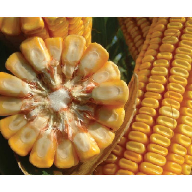 Семена кукурузы Лимагрейн ЛГ 3395 (LG 33.95) ФАО – 390