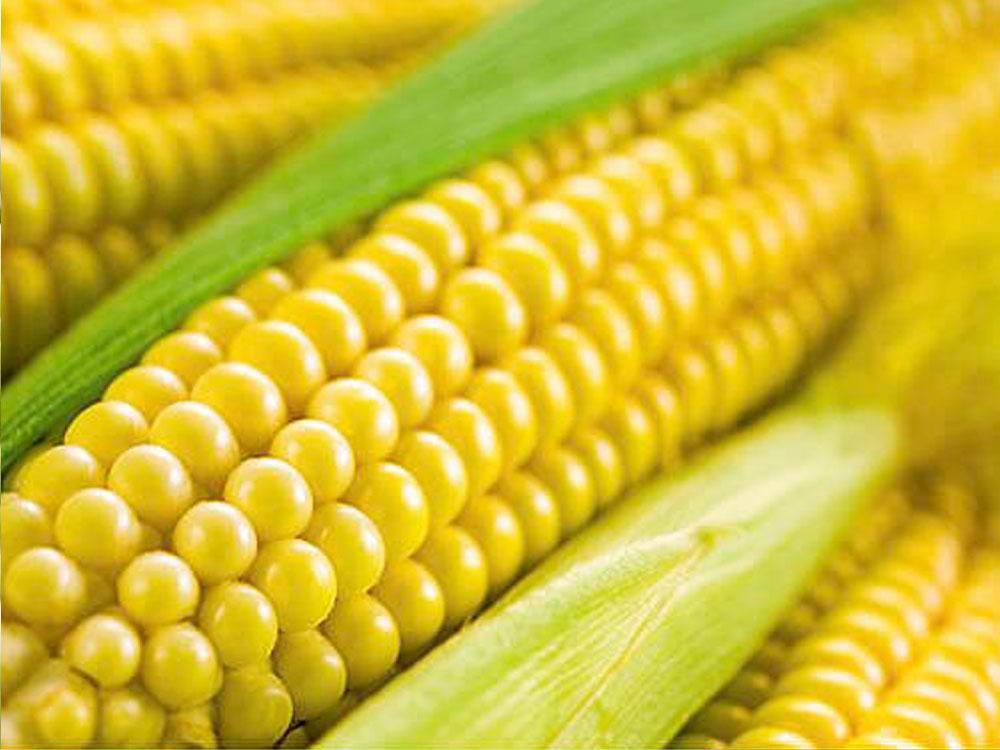 Семена кукурузы Лимагрейн ЛГ 30254 (LG 30254) ФАО – 260
