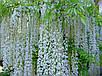 Семена Глициния микс, фото 3