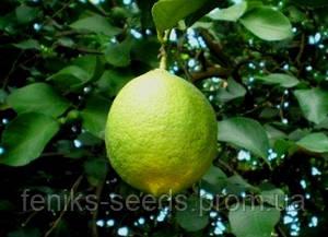 Лимон комнатный Дженоа укоренённый черенок