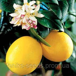 Лимон комнатный Мейера укоренённый черенок