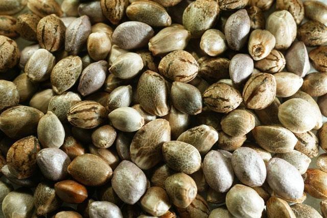 Семя конопли пищевой в марихуане есть шишки